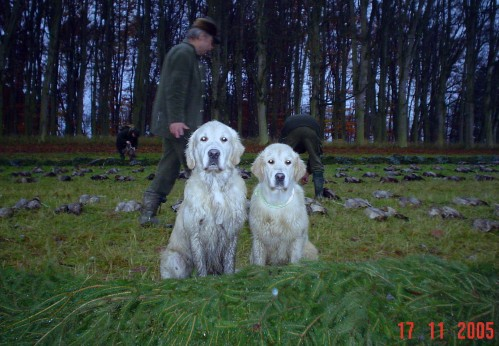 JCH Aireen Brdské Zlato at her first hunting with her father Robbie