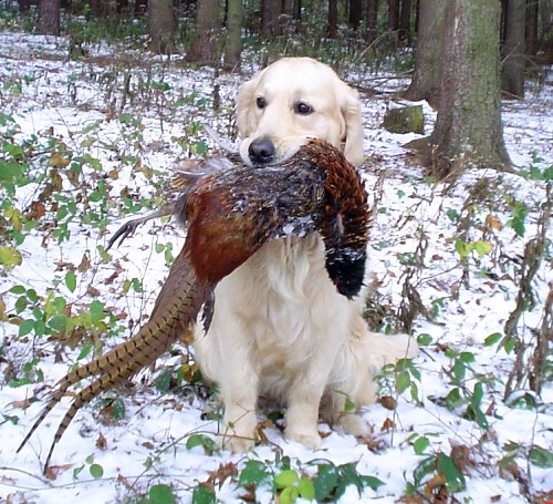 Delibes´s Golden Marian with pheasant from her first hunt