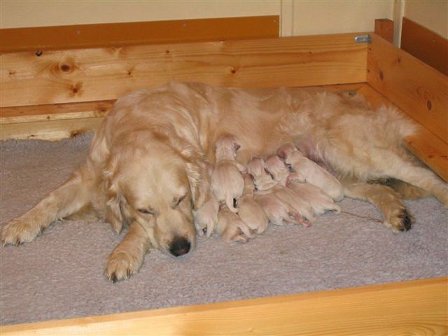 Milli and her 10 puppies few hours after delivery